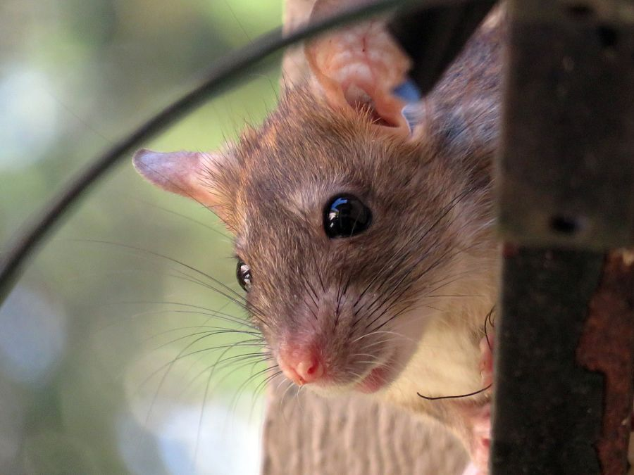How a bunch of rats beat top traders at their own game